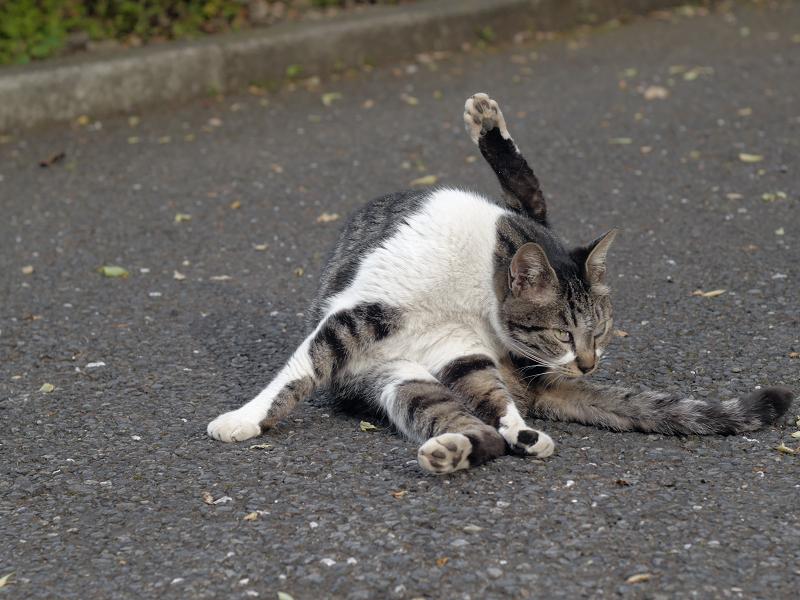 足上げ毛づくろいキジ白猫2