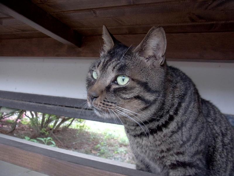 ベンチの下のキジトラ猫2