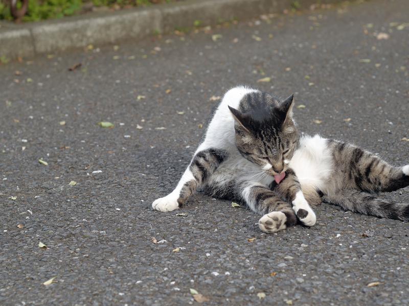 足上げ毛づくろいキジ白猫3