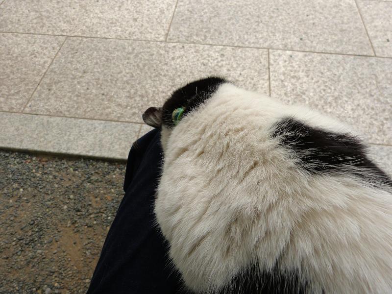 膝でズーッと『ごめん寝』の白黒猫1