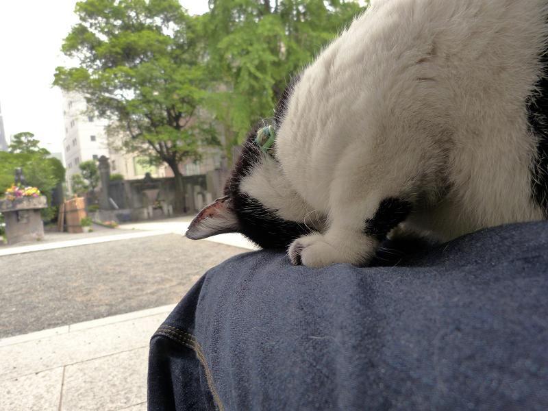 膝でズーッと『ごめん寝』の白黒猫2