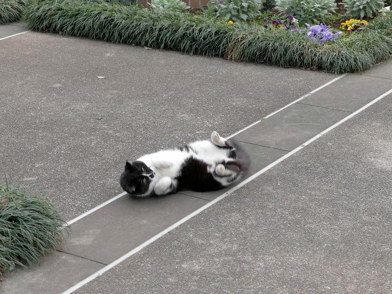 転がる黒白猫1