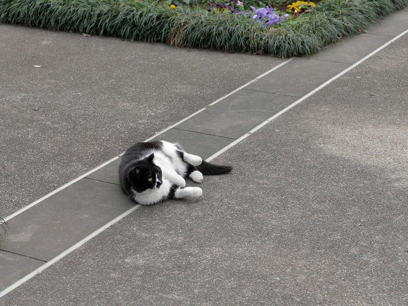 転がる黒白猫2