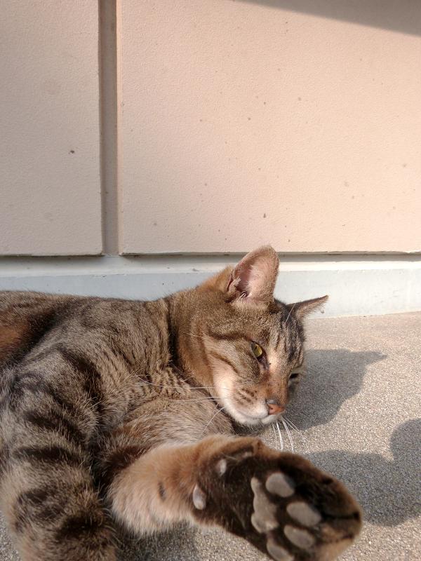 神社境内のキジトラ猫1