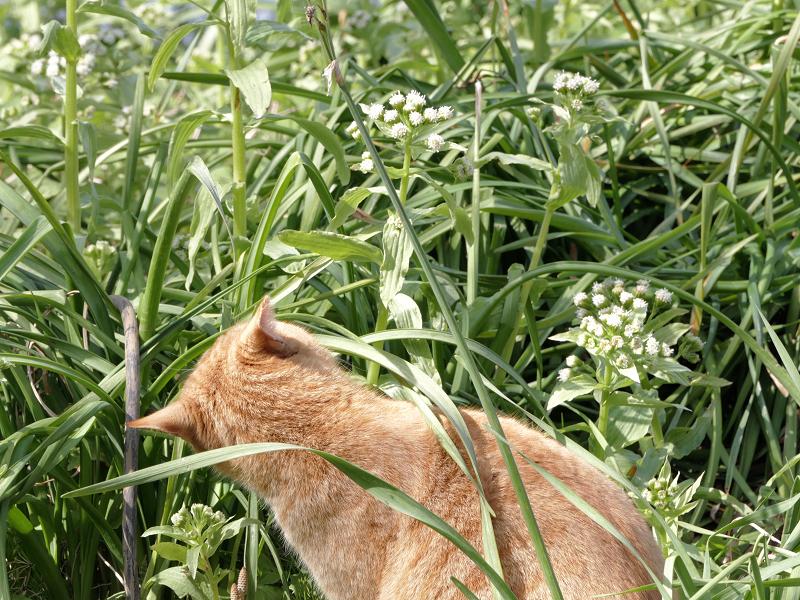 草むらの茶トラ猫1