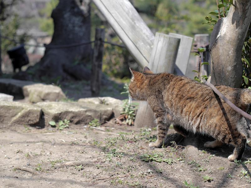 グイグイと進むキジトラ猫1