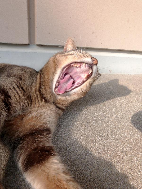 神社境内のキジトラ猫2