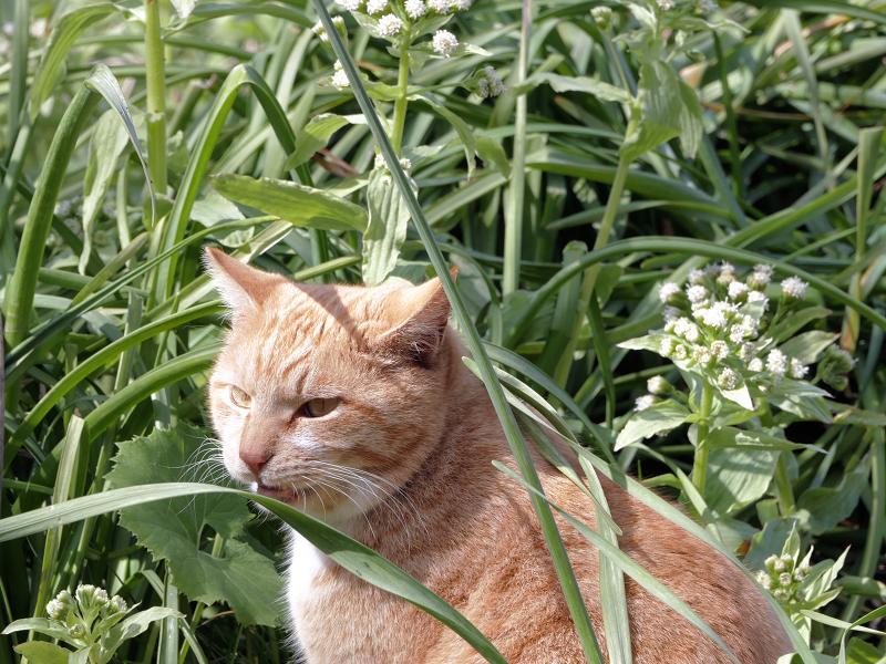 草むらの茶トラ猫2