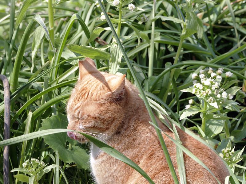 草むらの茶トラ猫3
