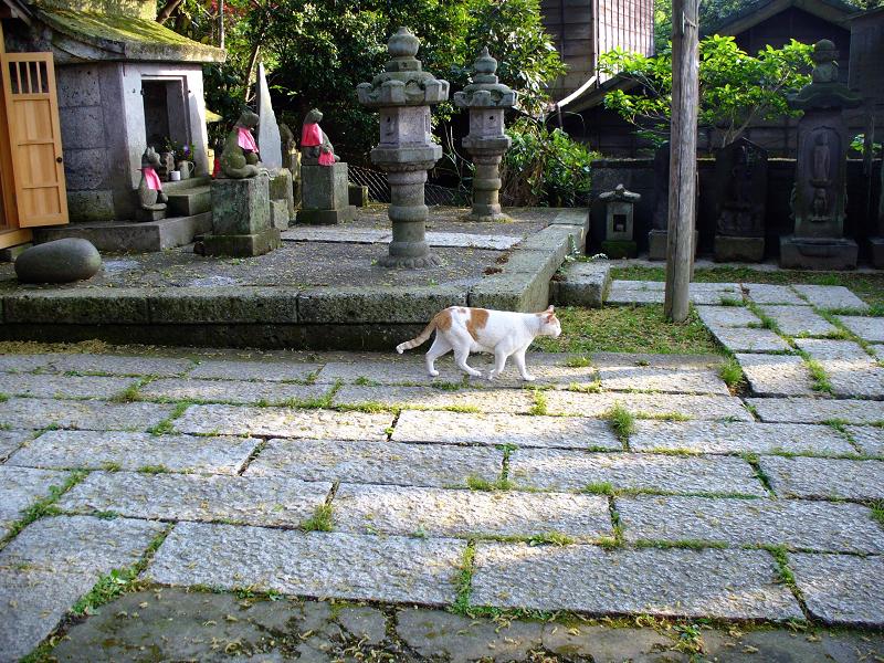 神社参道を歩く白茶猫1