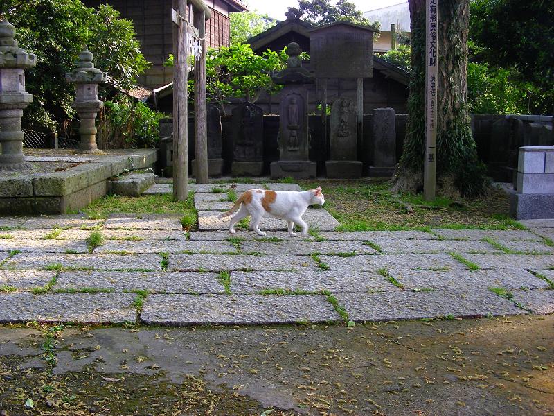 神社参道を歩く白茶猫2