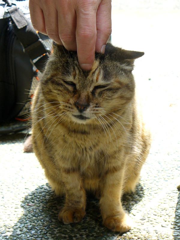 眉間を擦られるサビ柄猫3