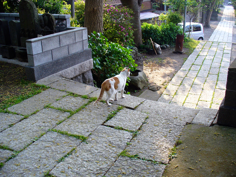 神社参道を歩く白茶猫3