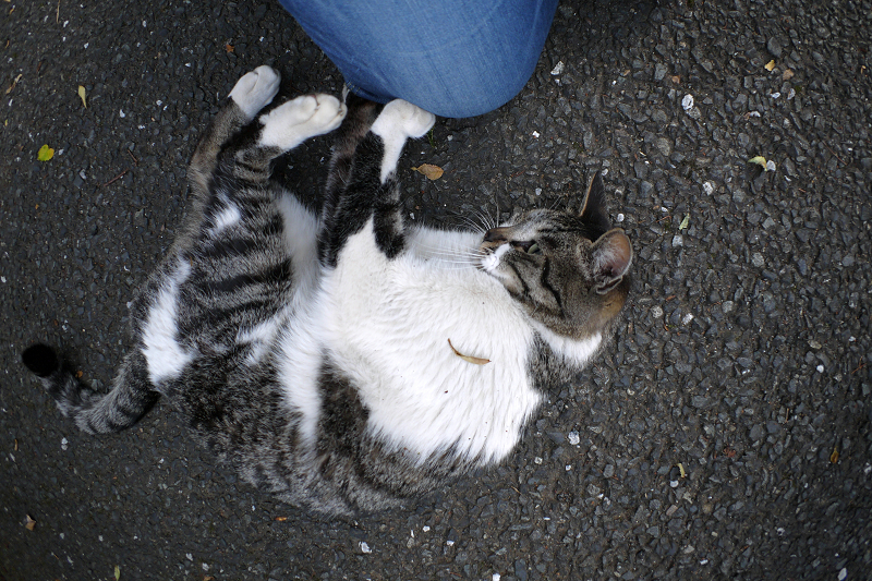 腿に爪を立てるキジ白猫2