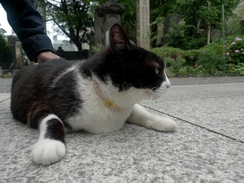 境内で腹ばってる黒白猫1