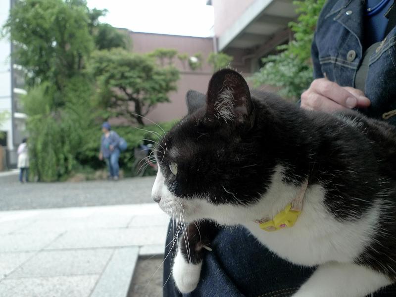 膝で腹ばってる黒白猫