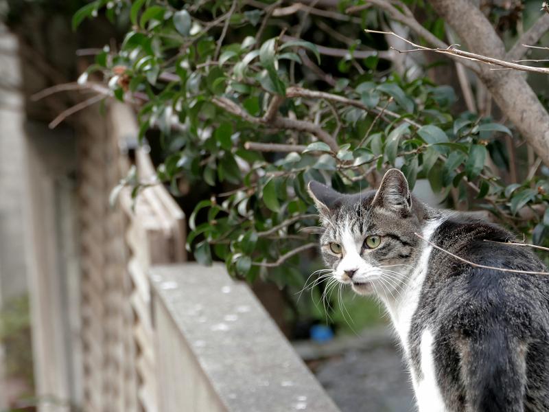 ブロック塀のキジ白猫1