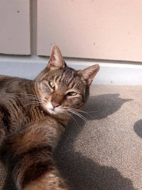 社務所下のキジトラ猫1