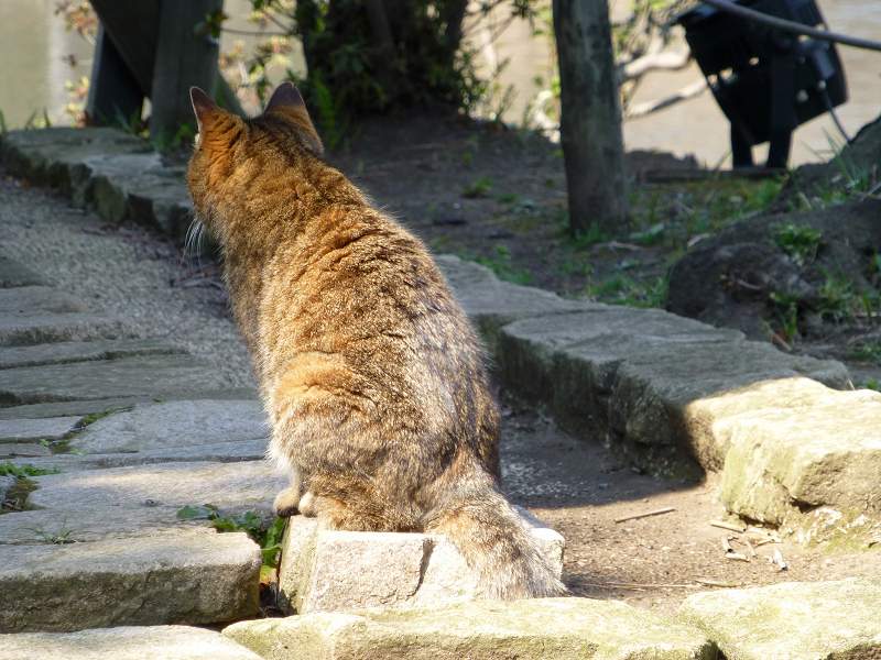 ジーッと見つめるキジトラ猫の後ろ姿1