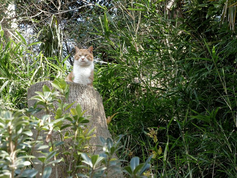 山茂みの茶白猫2