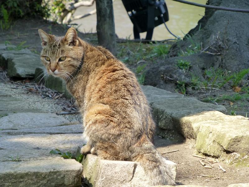 ジーッと見つめるキジトラ猫の後ろ姿2