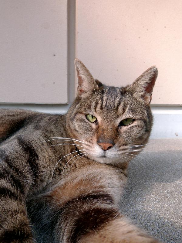 社務所下のキジトラ猫3