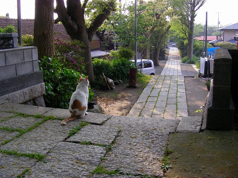 神社参道の白茶猫1