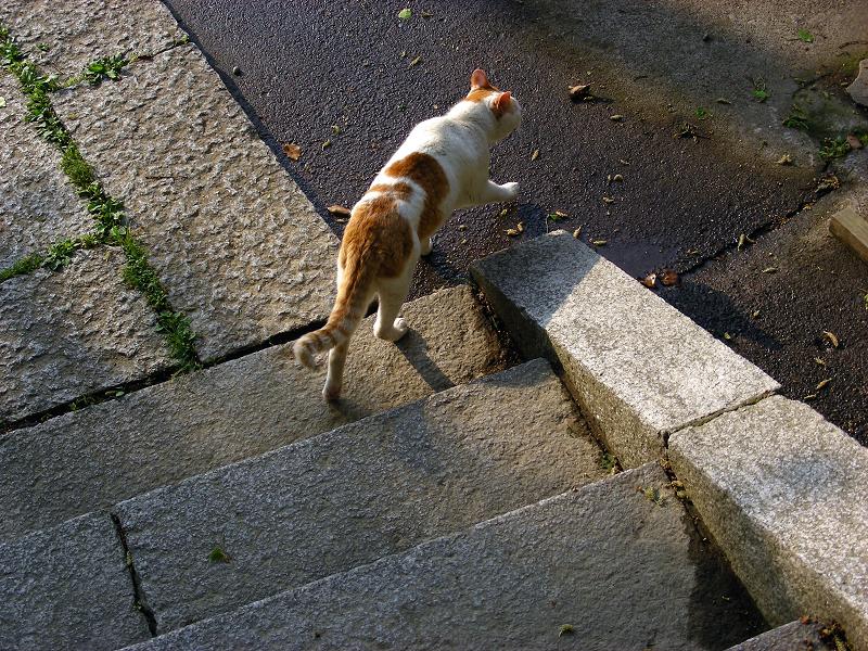 神社参道の茶白猫2