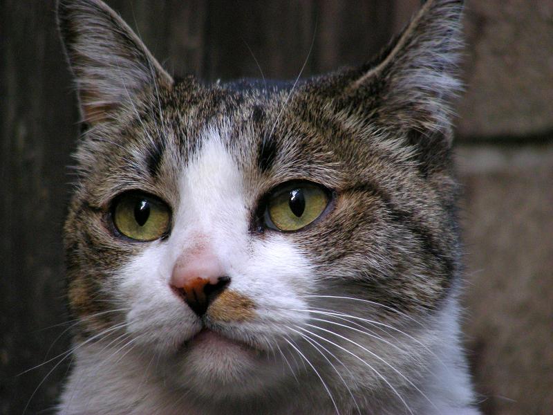 キジ白猫のアップ2