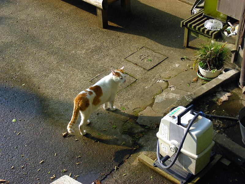神社参道の茶白猫3