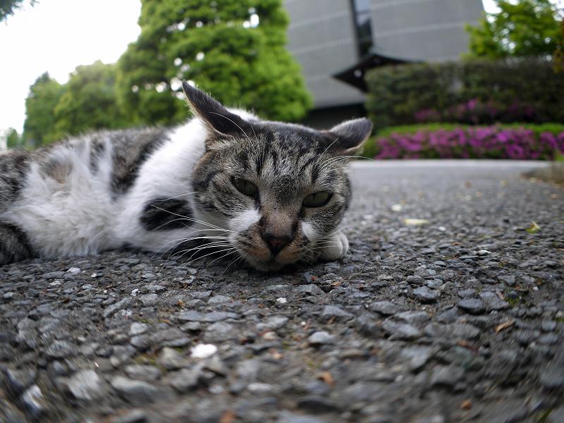 境内で腹ばうキジ白猫1