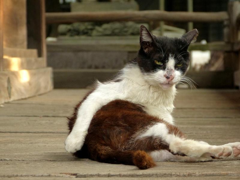 毛繕いする濡れ縁の黒白猫2