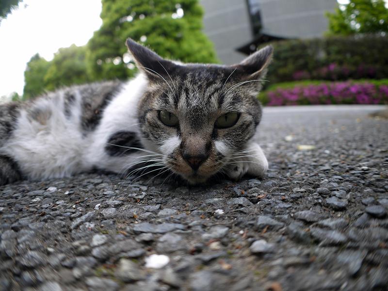 境内で腹ばうキジ白猫2