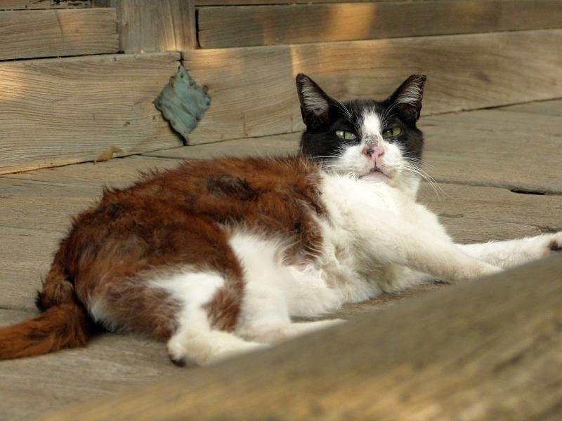 毛繕いする濡れ縁の黒白猫3