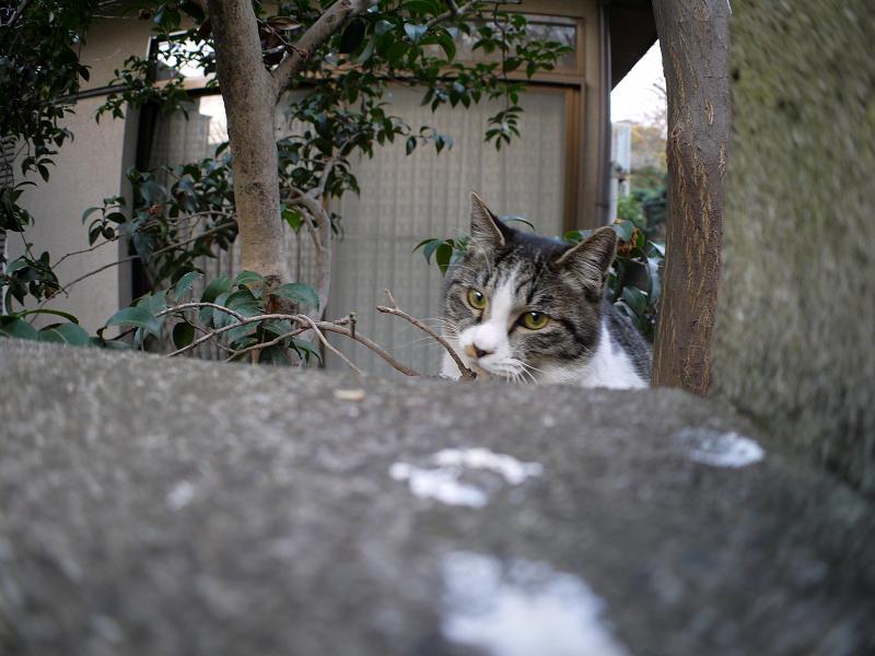 ブロック塀越しのキジ白猫1