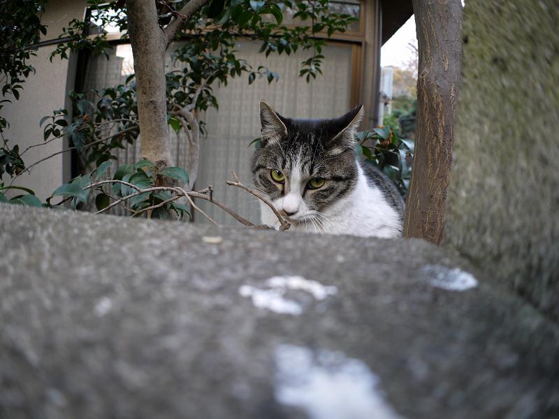 ブロック塀越しのキジ白猫2