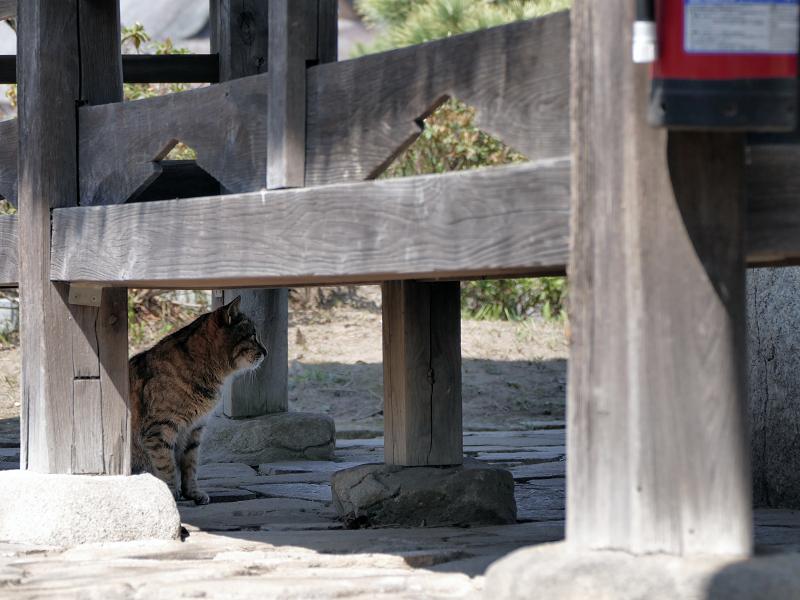 東屋下のキジトラ猫1