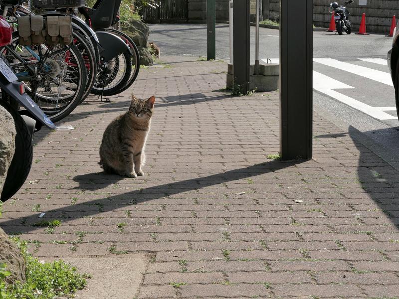 歩道のキジトラ猫1