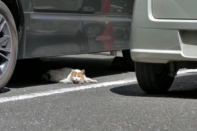 車の下で腹ばってる茶白猫1