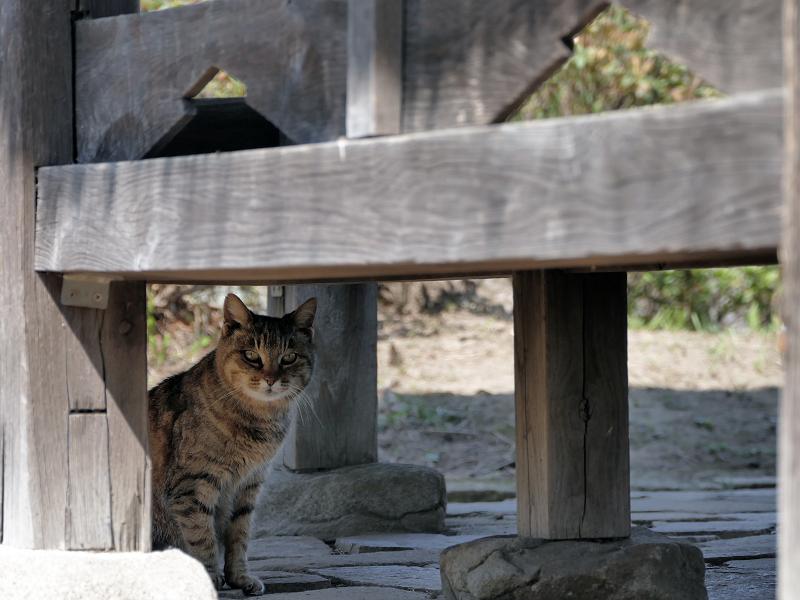 東屋下のキジトラ猫2