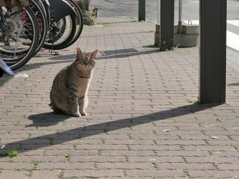 歩道のキジトラ猫2