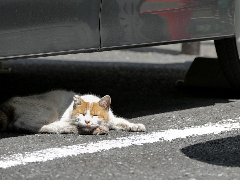 車の下で腹ばってる茶白猫2