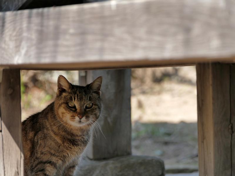 東屋下のキジトラ猫3