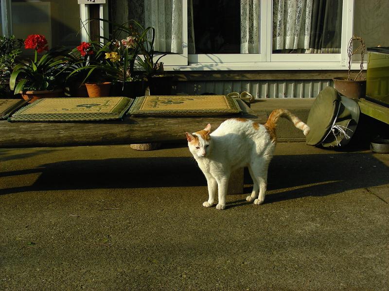 神社休憩所の白茶猫1