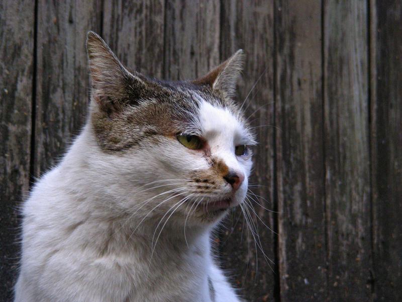 白キジ猫のアップ1