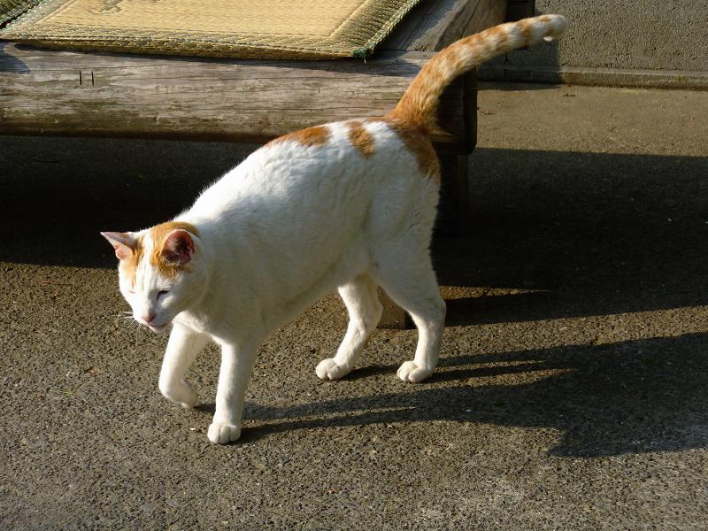 神社休憩所の白茶猫2