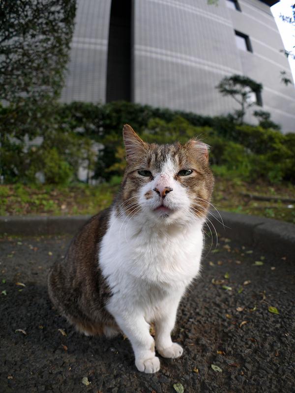 お寺の大きなキジ白猫1