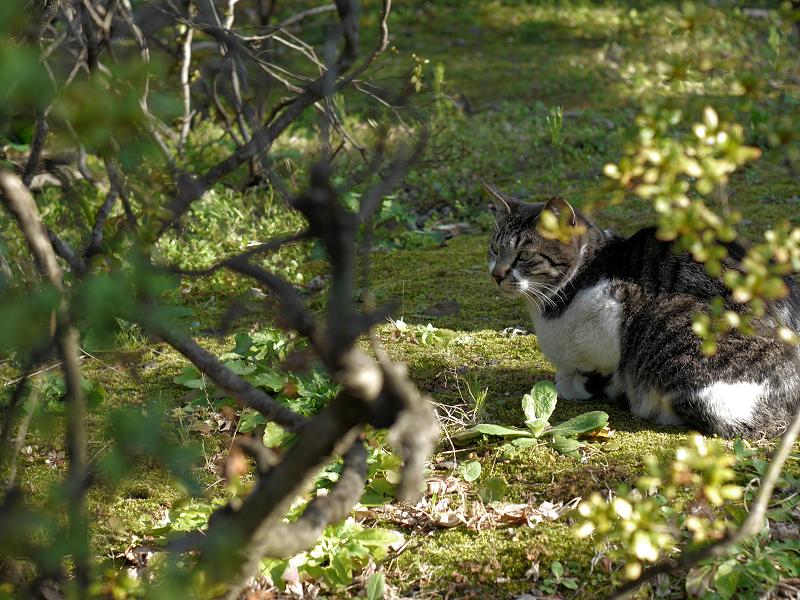 植え込みの中のキジ白猫