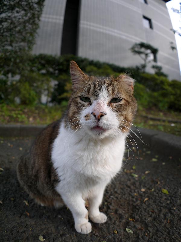 お寺の大きなキジ白猫2