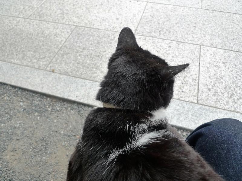 膝に乗って何かを見ている黒白猫1